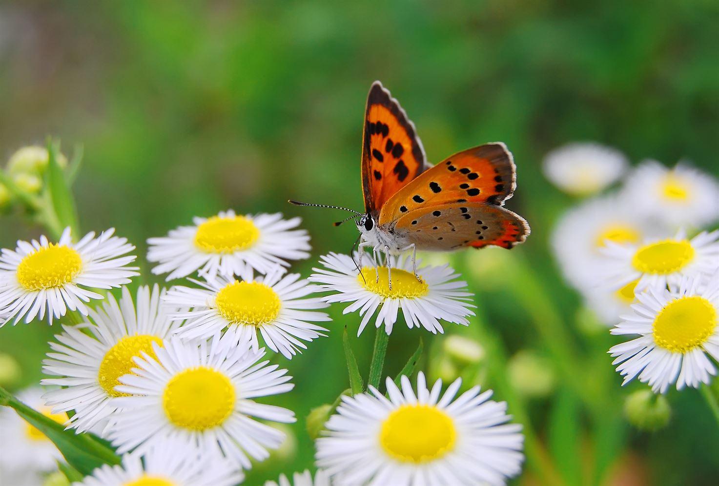 vlinder tuinen crombez